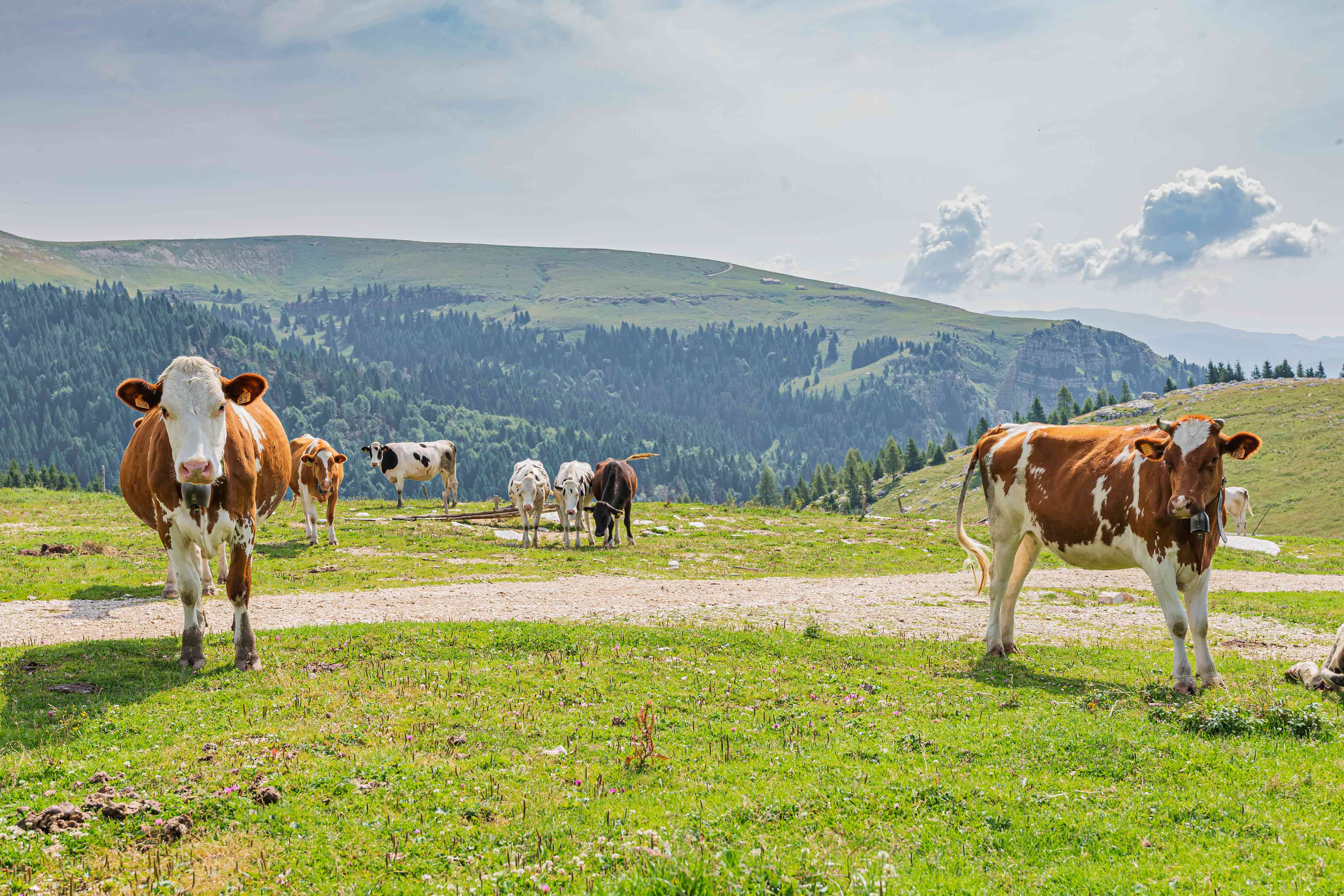 Mucche in alpeggio LeMelette