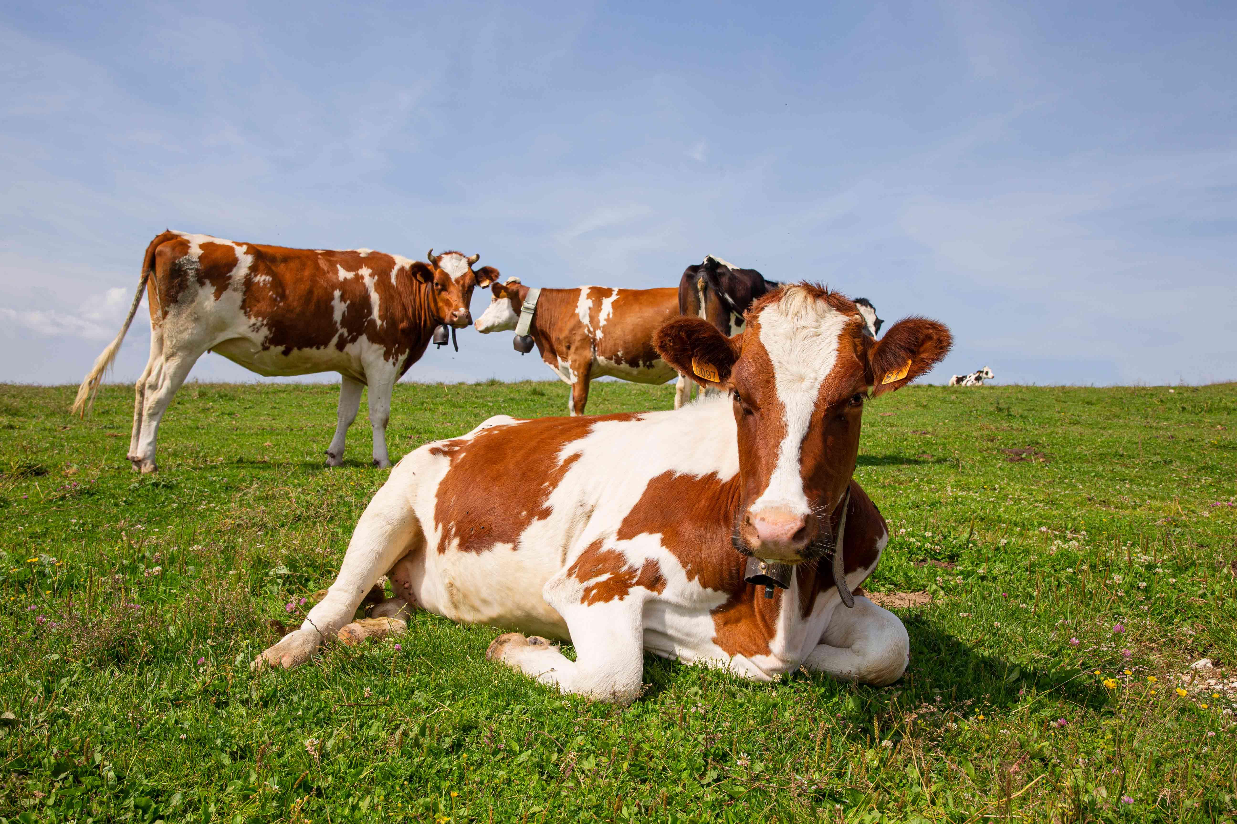 Mucca in alpeggio Le Melette Gallio
